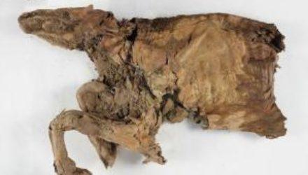 В Канаде нашли мумию волчонка из ледникового периода
