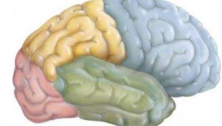 Терпение нашли в орбитофронтальной и префронтальной коре головного мозга