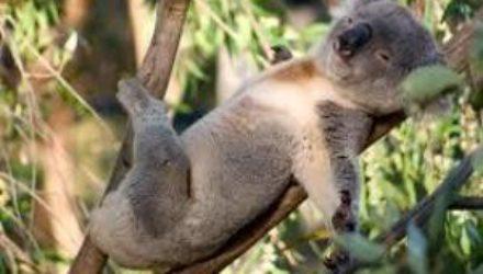 Контрацепция коал спасла эвкалипт от вымирания
