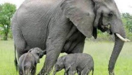 Слоны могут помочь медикам лечить рак